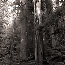 Deep Forest - Mount Rainer National Park by Harry Snowden