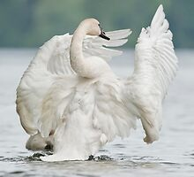 White Swan by Bill Maynard