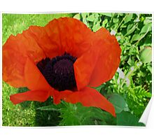 A popping Poppy for Richard Tuvey 2011 Poster