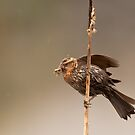 Female Red-Winged Blackbird with Meal for Baby by David Friederich