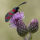 Six-spot Burnet Moth by Neil Bygrave (NATURELENS)