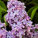 Dreaming of Lilacs by Heather Friedman