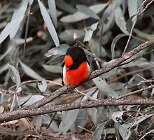 Take A Bow ... Red-capped Robin by mosaicavenues