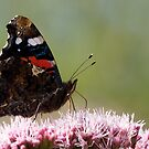Red Admiral by Neil Bygrave (NATURELENS)