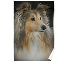 Sheltie Sheepdog Poster