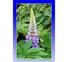 Lovely Lupin Photographic Print