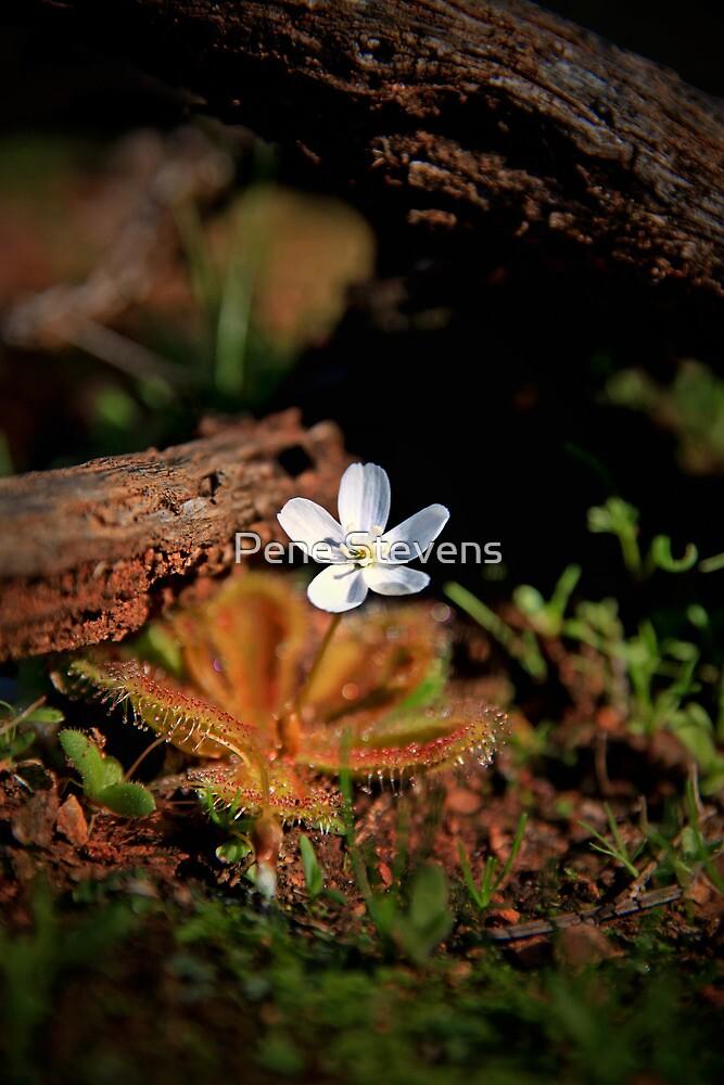 Sundew Flower by Pene Stevens