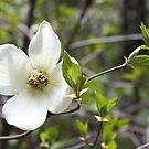 Dogwood Tree Flower, Yosemite National Park by Jem Wright