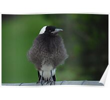 Fluffy Baby Magpie Poster