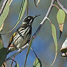 New Holland Honeyeater by Robert Abraham