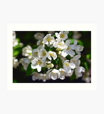 Blossom apple tree Art Print