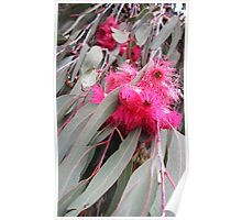 Pink Gum Blossom Poster