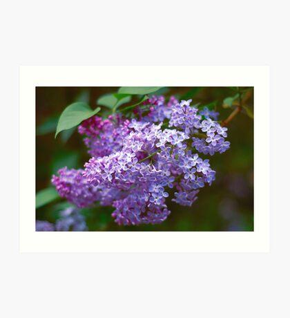 Lilac macro Art Print