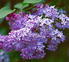 Lilac macro by Eduard Isakov
