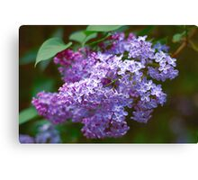 Lilac macro Canvas Print