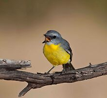 """GOT IT""    EASTERN YELLOW ROBIN  Warwick Queensland Australia by DIZZYHEIGHTS"
