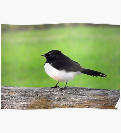Fluffy Willy Wagtail Poster
