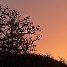 Walnut Tree at Dusk by DEB CAMERON