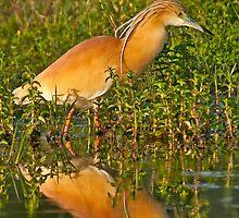 Squacco Heron (Ardeola ralloides) by Konstantinos Arvanitopoulos