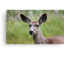 Yosemite Mule Deer Canvas Print