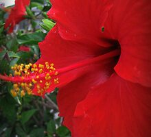 Red Hibiscus of Cyprus! by rasim1