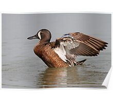 The Complexity Of Feathers / Blue Winged Teal Poster