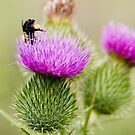 Thistle Diving by Robert  Mackert