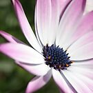 Osteospermum Flower by destinysagent