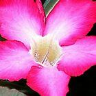 Pink Adenium by onkytombe