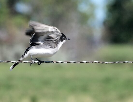 Eastern Kingbird - Tyrannus tyrannus by Barb Miller