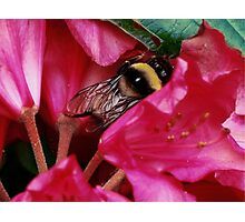 Mr. Bumble Photographic Print