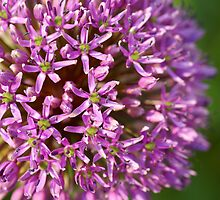The Purple Allium flower by walstraasart