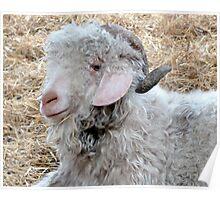 Angora Goats Poster