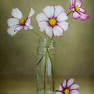 Picotee Cosmos by Mandy Disher