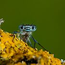 Posing Damselfly by AngiNelson