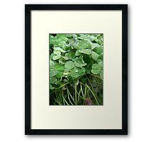 Dewy clover Framed Print