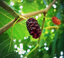 Mulberries  by Susan S. Kline
