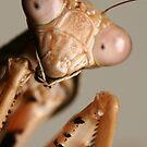 Prohierodula picta Mantis by destinysagent
