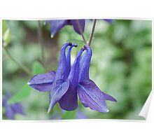 Blue Columbine by Colin Harper (13) Poster