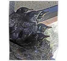 Baby Robins 10 - Ready to fly! Poster