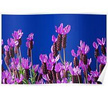 Blue Lavender. Poster