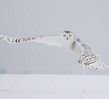 Winter Flight (Snowy Owl) by PixlPixi