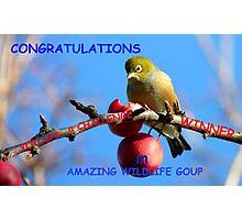 Challenge Banner Entry - Amazing Wildlife Group - Silvereye NZ Photographic Print