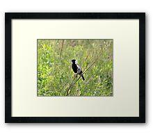 Bobolink  Framed Print