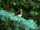 Dark Eyed Junco in Pine  by Marcia Rubin