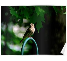 House Finch - Female Poster