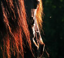 10.6.2011: Welsh Cob and Mosquito by Petri Volanen