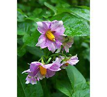 Solanum Crispum Photographic Print