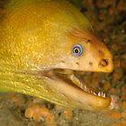 Green Moray Eel - Gymnothorax prasinus by Andrew Trevor-Jones