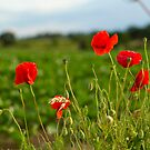 Thurton Poppies by Nicholas Jermy